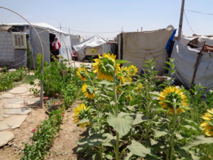 Garden irrigated with greywater in domiz camp Iraq