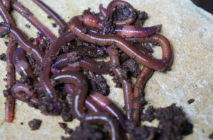 The India Blue (Perionyx excavatus) composting worm, bought from the Men's Association Agricultural Training Centre in Yangon. Credit: Dr Claire Furlong